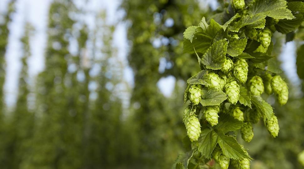 Il luppolo: l'oro verde della birra